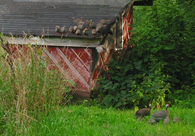 Current crop of guinea fowl