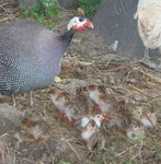 Highlight for Album: Guinea Fowl: June, 2005