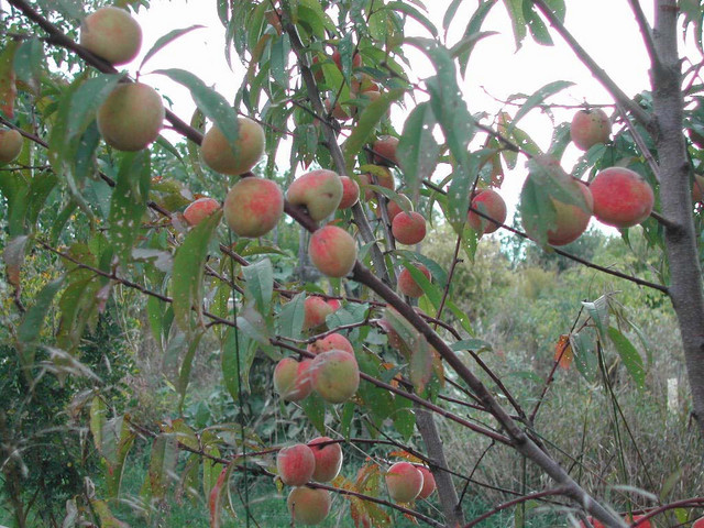 3 Year old Siberian C peach with its first crop of peaches.